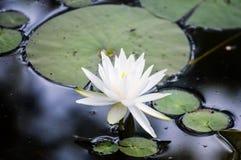 Sensible waterlily sur un lac Photo libre de droits
