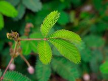 A sensitive compound leaf of Mimosa pudica - sensitive plant, shame plant royalty free stock photos