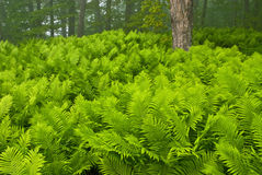 Sensitive Ferns. Pictured Rocks National Lakeshore, Michigan's Upper Peninsula, USA royalty free stock image