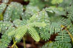 Sensitive green plant Mimosa Pudica Stock Photography