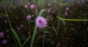 Sensitive plant flowe.  Stock Photography