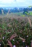 Sensitive plant flowe.  Stock Photo