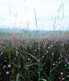 Sensitive plant flowe.  Royalty Free Stock Photo