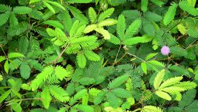 Sensitive plant or mimosa plant stock video