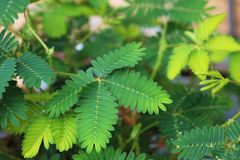 Sensitive plant mimosa pudica. Closeup of leaves of a sensitive plant or mimosa pudica royalty free stock image