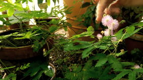 Sensitive plant (Mimosa pudica) stock video