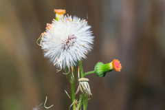 Sensitive plant or mimosa pudica plant Royalty Free Stock Photos