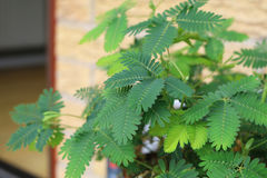 Sensitive plant or mimosa pudica. A sensitivie plant or mimosa pudica houseplant royalty free stock images