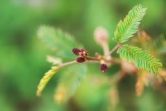 Sensitive plant Stock Images