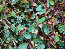 Sensitive plant, shame plant, or Mimosa pudica Royalty Free Stock Images