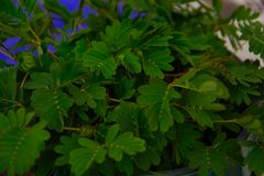 Sensitive plant, sleepy plant, Dormilones or shy plant. Mimosa pudica, well known for its rapid plant movement, The leaves  close under various other stimuli Royalty Free Stock Image