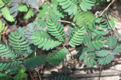 Sensitive plant tree Royalty Free Stock Images