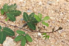 Sensitive plant Royalty Free Stock Photo
