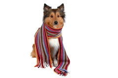 Sensitive to the cold dog royalty free stock image