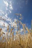 Senso di pace - frumento e cielo blu Fotografie Stock Libere da Diritti
