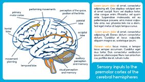 Sensory inputs to the premotor cortex of the cerebral hemisphere. S. Vector scheme stock illustration