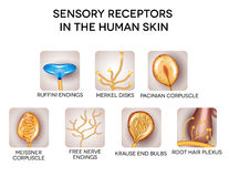 Sensory receptors in the human skin. Detailed illustrations. Isolated on a white background stock illustration
