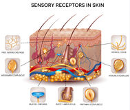 Sensory receptors in the skin Royalty Free Stock Image