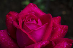 Sensual rose Stock Images