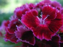 Sensuality: Deep Shades of Pink. A small bouquet of Turkish carnations growing in the garden stock image