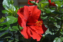The sensuous Hibiscus in full bloom. The Hibiscus in full bloom with its sensuous pistil exposed for pollination.  One of natures most revealing scenes of the Royalty Free Stock Images