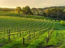 Sent ljus slår en vingård i vår Royaltyfri Bild