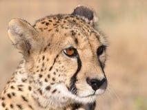 Sentada alerta del guepardo Fotos de archivo libres de regalías