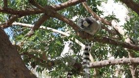 sentada Anillo-atada del lémur del parque zoológico almacen de video