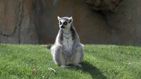 sentada Anillo-atada del lémur del parque zoológico metrajes