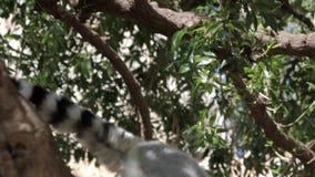 sentada Anillo-atada del lémur del parque zoológico almacen de metraje de vídeo