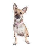 Sentada atenta linda del pequeño perro fotografía de archivo libre de regalías