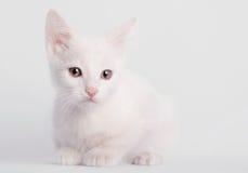 Sentada blanca del gatito Imágenes de archivo libres de regalías