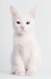 Sentada blanca del gatito Fotografía de archivo libre de regalías