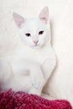 Sentada blanca del gatito Fotos de archivo