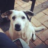 Sentada blanca del perro Foto de archivo libre de regalías