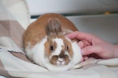 Sentada blanco-marrón del conejo en una manta cuidadosamente o ansiosamente mirando la cámara Pascua está viniendo pet imagen de archivo
