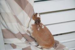Sentada blanco-marrón del conejo en una manta cuidadosamente o ansiosamente mirando la cámara Pascua está viniendo pet foto de archivo
