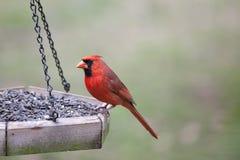Sentada cardinal masculina en alimentador del pájaro Foto de archivo libre de regalías