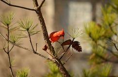 Sentada cardinal septentrional del pájaro hermoso en rama de árbol de pino Imagen de archivo
