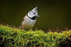 Sentada con cresta del Tit, pájaro cantante en rama verde hermosa del liquen del musgo con el fondo verde claro Pájaro con la cre Imagen de archivo