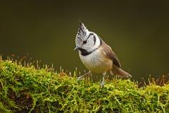 Sentada con cresta del Tit, pájaro cantante en rama verde hermosa del liquen del musgo con el fondo verde claro Pájaro con la cre Fotografía de archivo