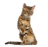 Sentada de Bengala (11 meses), pawing y mirando abajo Foto de archivo