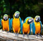 Sentada de cuatro macaw Foto de archivo