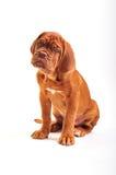 Sentada de Dogue De Bordeaux Puppy Imagen de archivo libre de regalías