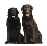 Sentada de dos Labradors Foto de archivo