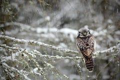 Sentada de Hawk Owl Imagen de archivo