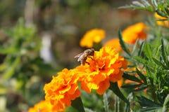 Sentada de la abeja de la flor anaranjada Imágenes de archivo libres de regalías