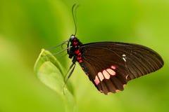 Sentada de la mariposa Polytes comunes del mormón, de Papilio, mariposa hermosa de Costa Rica y Panamá Mariposa hermosa en la nat foto de archivo libre de regalías