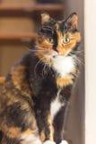 Sentada de la mirada fija de los ojos del amarillo de la concha del gato Fotografía de archivo libre de regalías