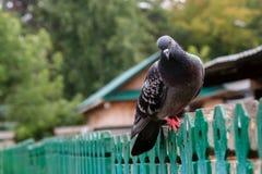 Sentada de la paloma Imágenes de archivo libres de regalías